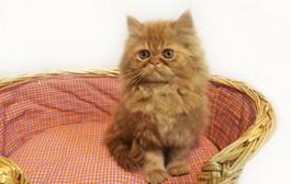 گربه های پرشین پت اماده شد