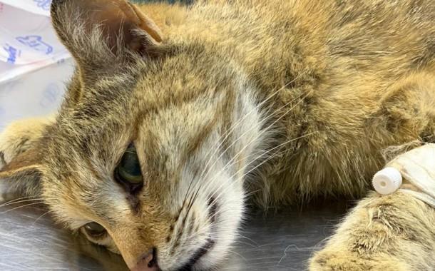 جراحی شکستی لگن  در گربه حمایتی توسط  پرشین پت