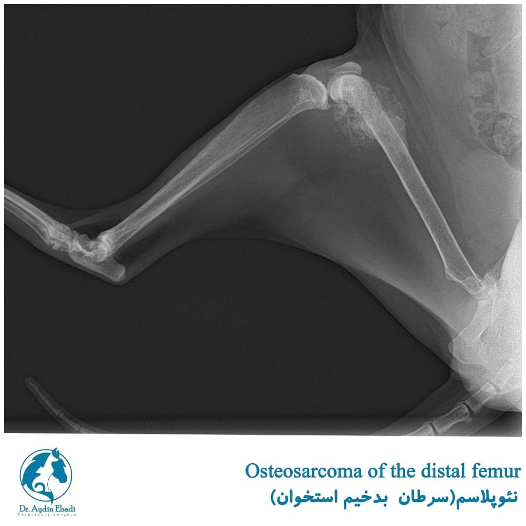 جراحی یک گربه با سرطان بد خیم استخوان